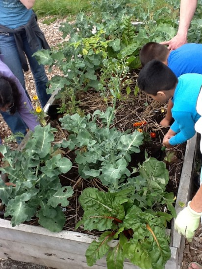 Figure 3: Students and teachers search for critters (aka, decomposers) in the raised garden beds at their school.