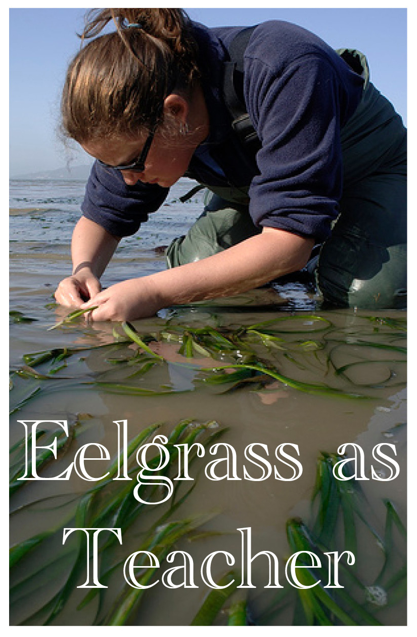 Eelgrass as Teacher – Integrating Tradition, Science, and Learning on the British Columbia Coast